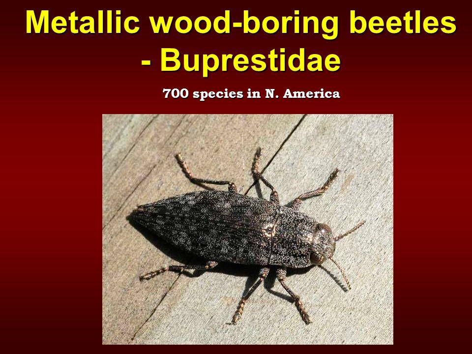 Metallic wood-boring beetles - Buprestidae 700 species in N. America