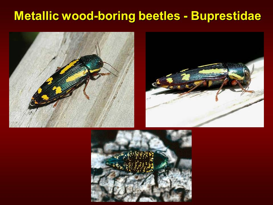 Metallic wood-boring beetles - Buprestidae