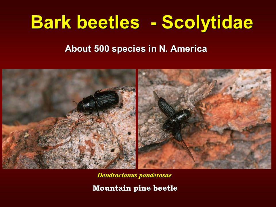 Bark beetles - Scolytidae About 500 species in N. America Mountain pine beetle Dendroctonus ponderosae