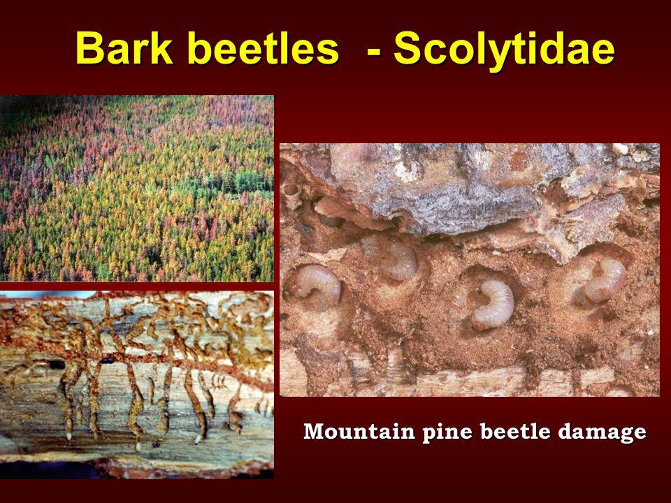 Bark beetles - Scolytidae Mountain pine beetle damage