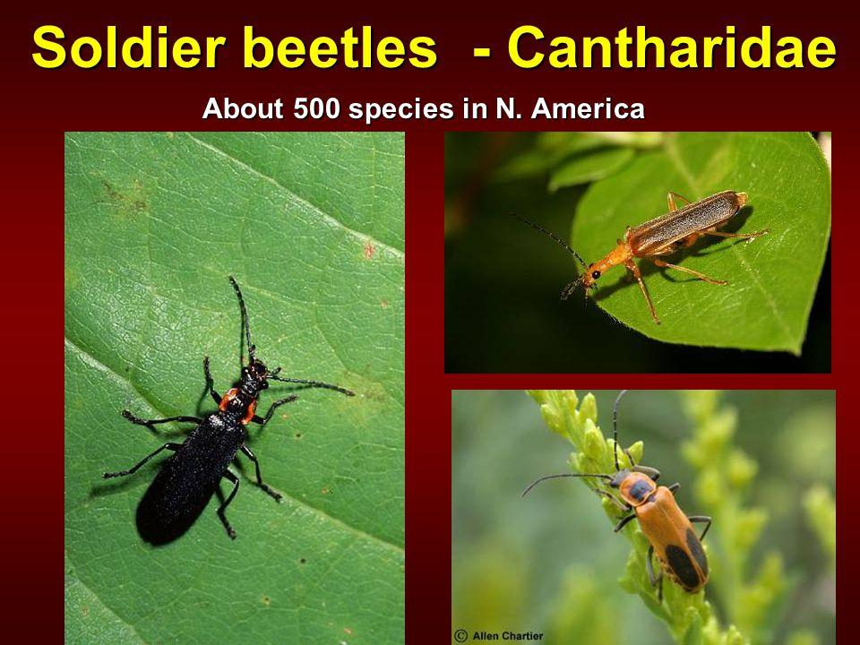 Soldier beetles - Cantharidae About 500 species in N. America
