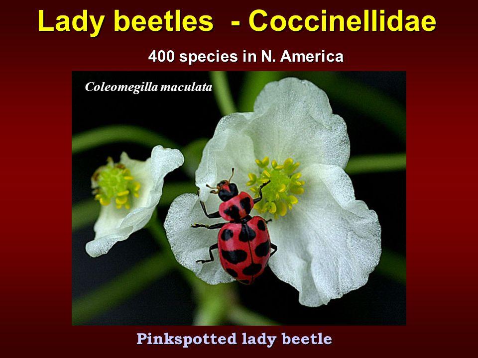 Lady beetles - Coccinellidae Coleomegilla maculata Pinkspotted lady beetle 400 species in N. America