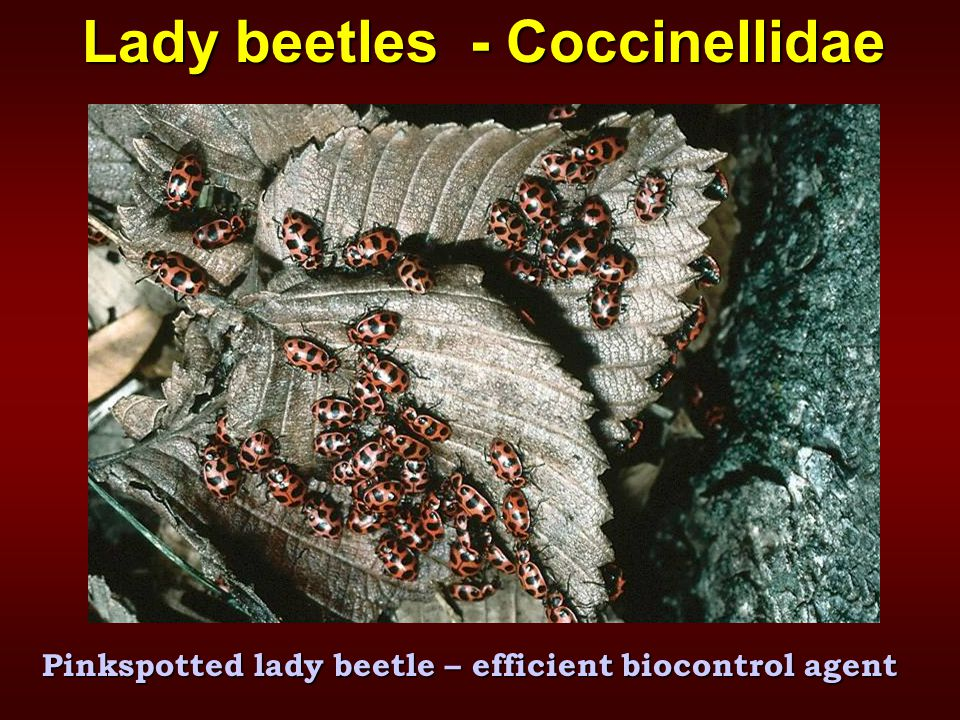 Lady beetles - Coccinellidae Pinkspotted lady beetle – efficient biocontrol agent