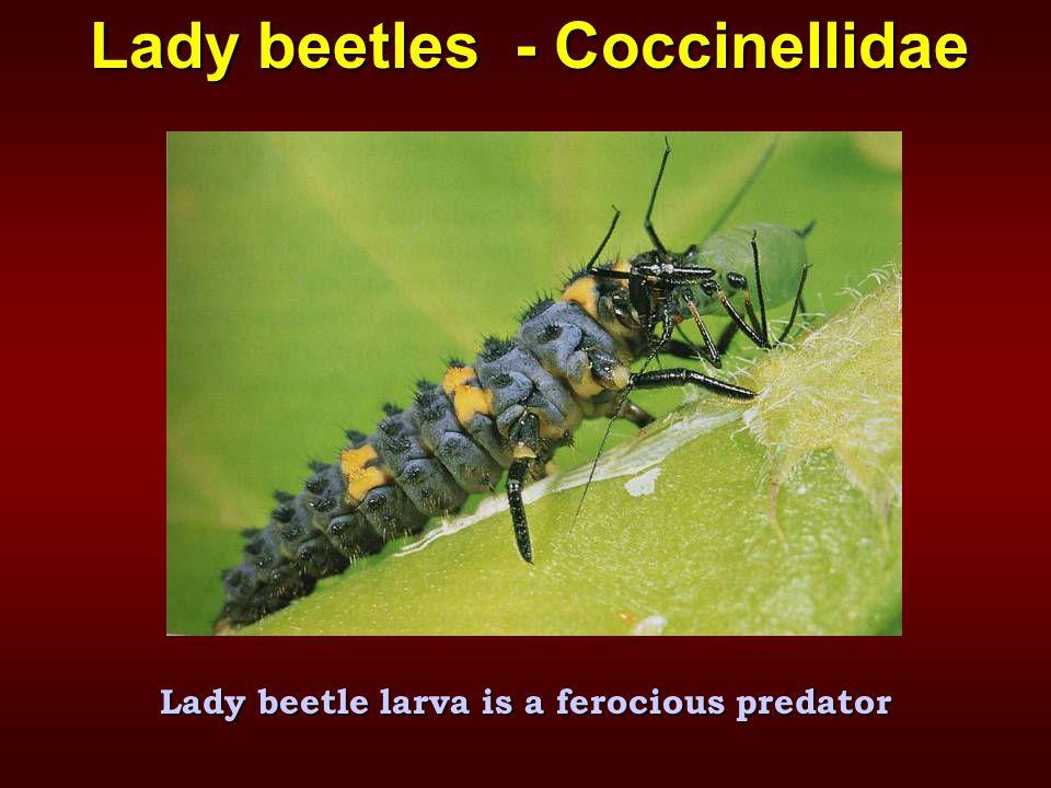 Lady beetles - Coccinellidae Lady beetle larva is a ferocious predator