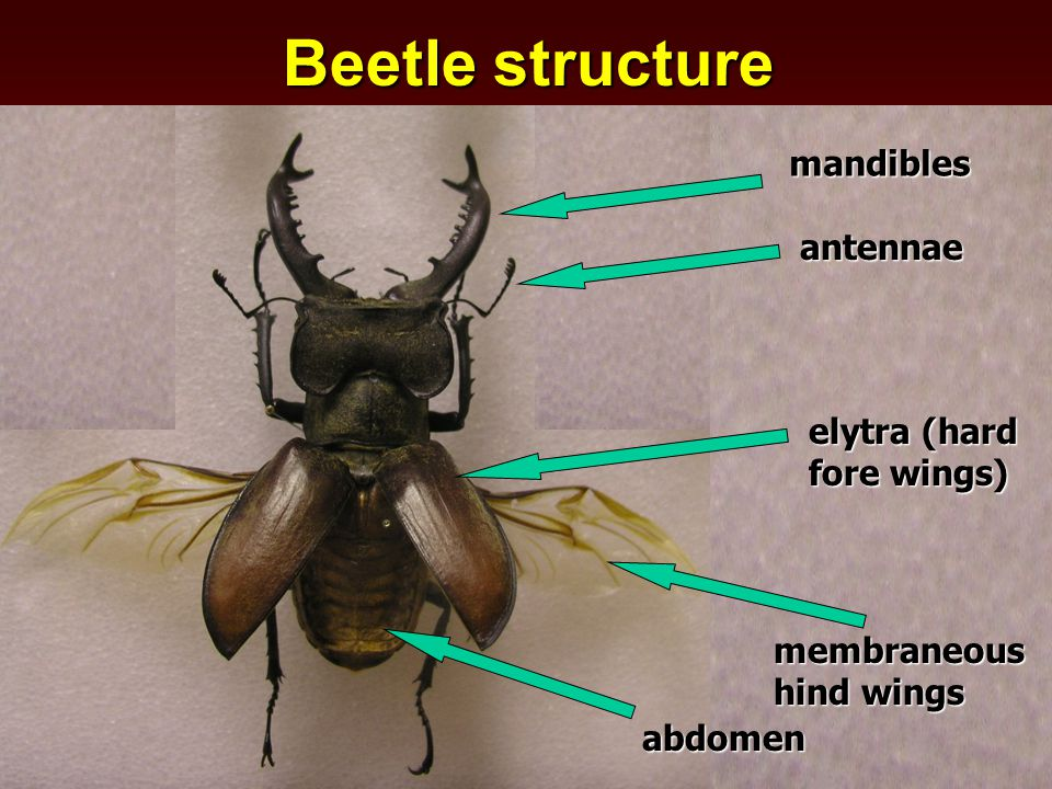 mandibles antennae elytra (hard fore wings) membraneous hind wings abdomen Beetle structure