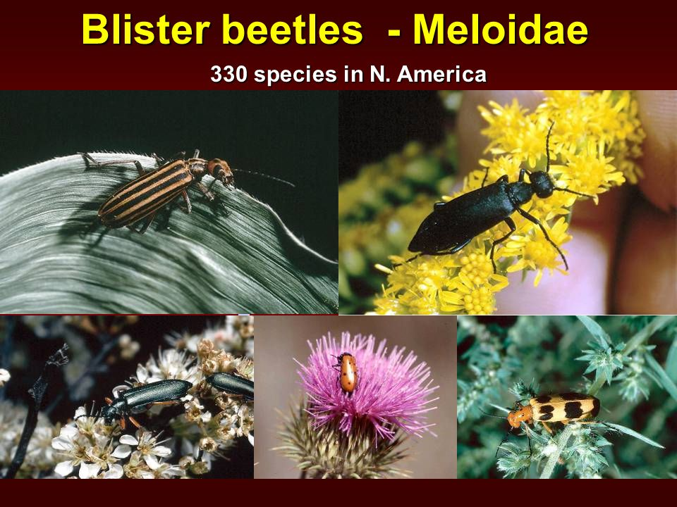 Blister beetles - Meloidae 330 species in N. America
