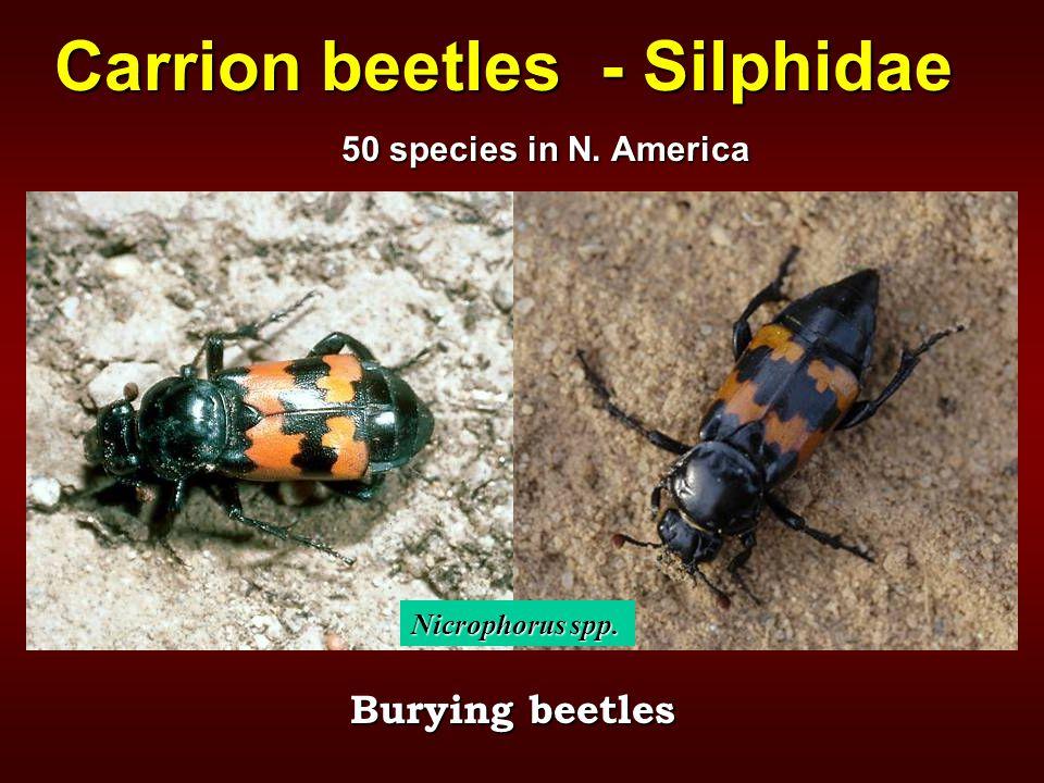 Carrion beetles - Silphidae Burying beetles Nicrophorus spp. 50 species in N. America