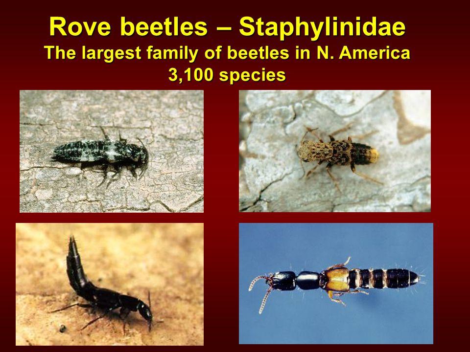 Rove beetles – Staphylinidae The largest family of beetles in N. America 3,100 species