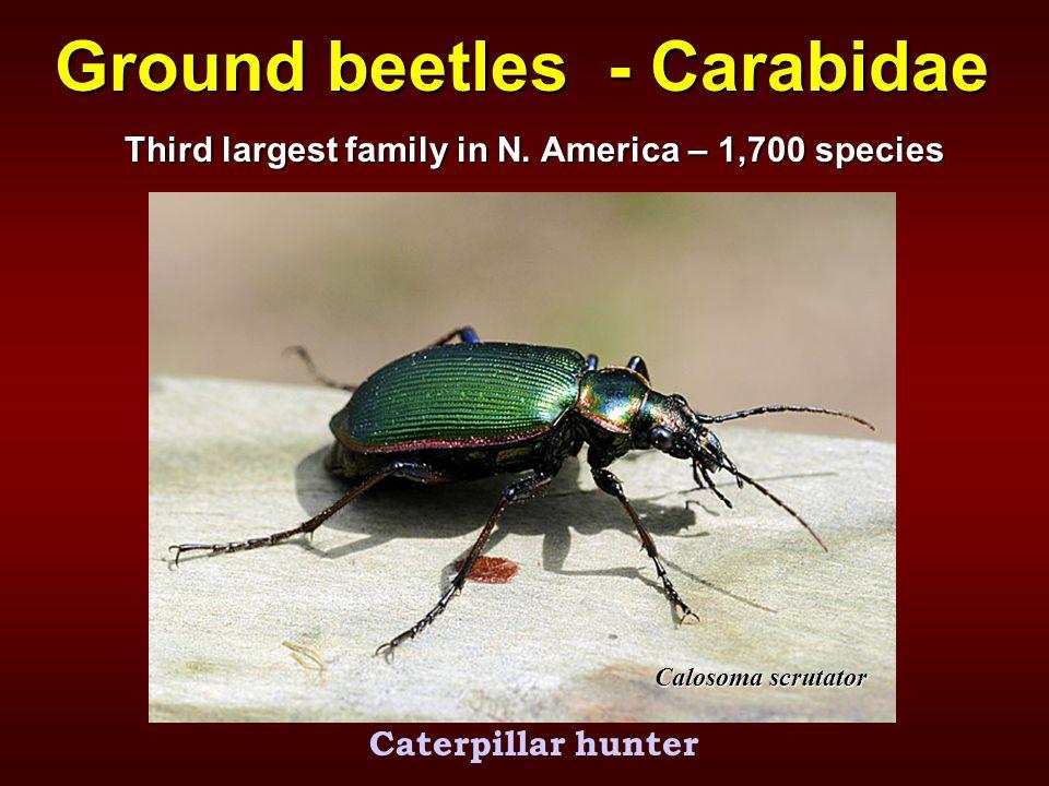 Ground beetles - Carabidae Calosoma scrutator Caterpillar hunter Third largest family in N.