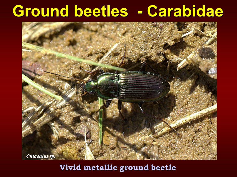 Chlaenius sp. Vivid metallic ground beetle Ground beetles - Carabidae