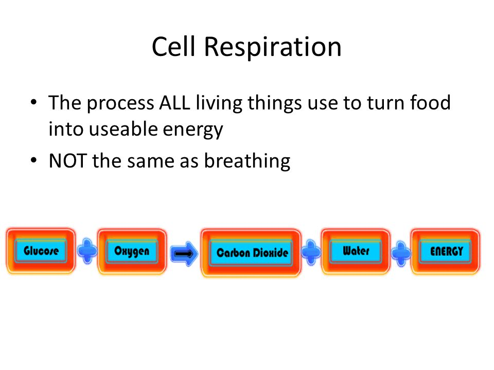 Cell Respiration The process ALL living things use to turn food into useable energy NOT the same as breathing
