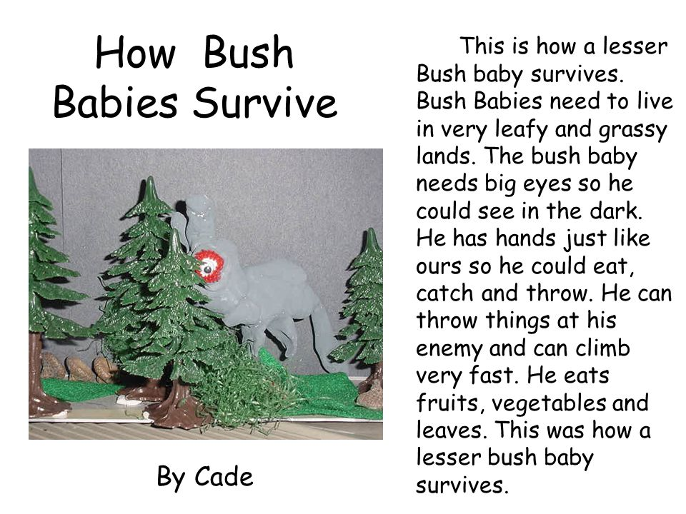 How Bush Babies Survive This is how a lesser Bush baby survives. Bush Babies need to live in very leafy and grassy lands. The bush baby needs big eyes