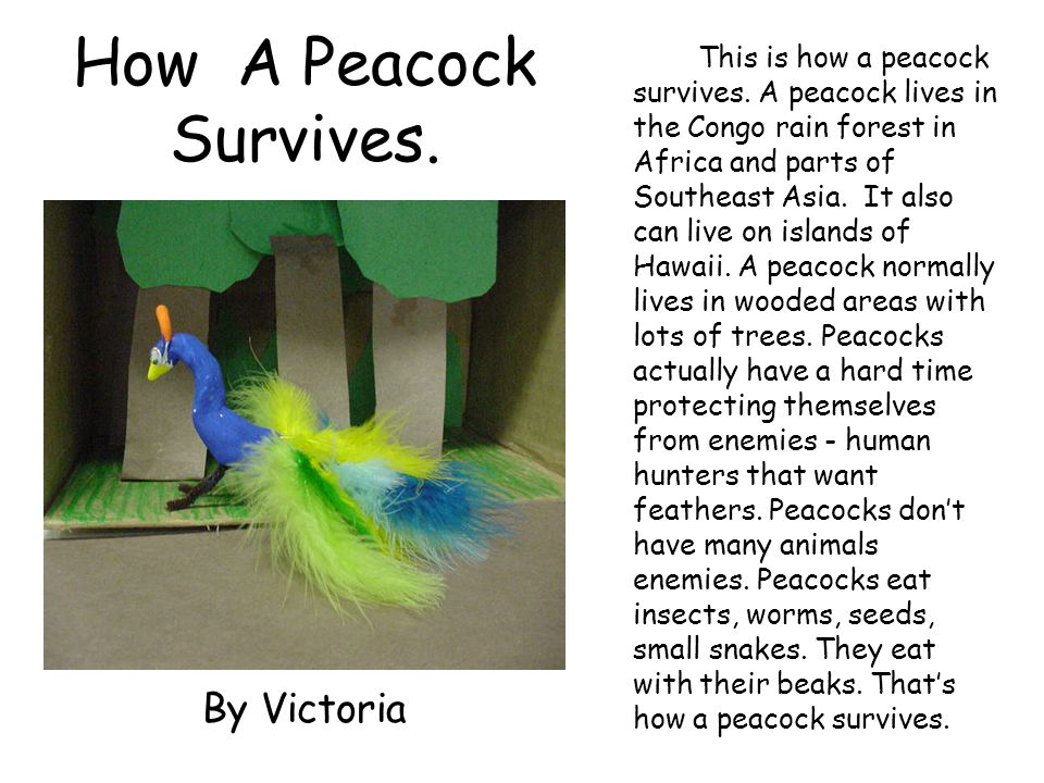 How A Peacock Survives. This is how a peacock survives. A peacock lives in the Congo rain forest in Africa and parts of Southeast Asia. It also can li