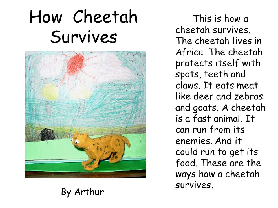 How Cheetah Survives This is how a cheetah survives. The cheetah lives in Africa. The cheetah protects itself with spots, teeth and claws. It eats mea