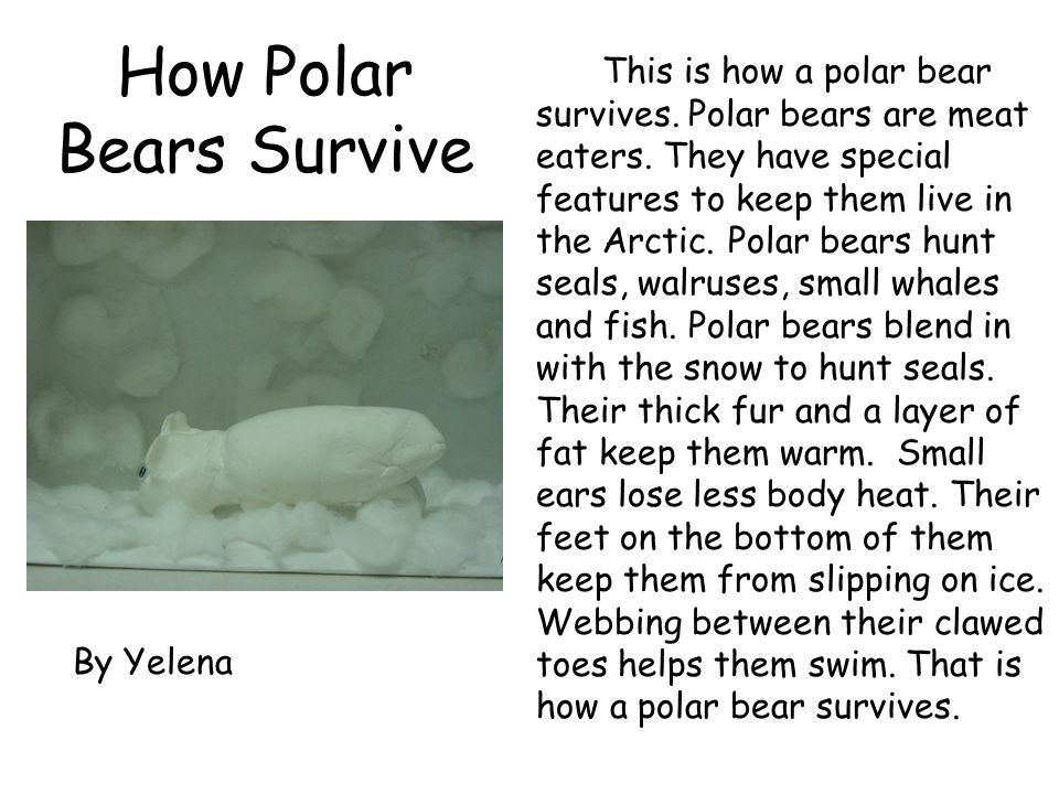 How Polar Bears Survive This is how a polar bear survives. Polar bears are meat eaters. They have special features to keep them live in the Arctic. Po