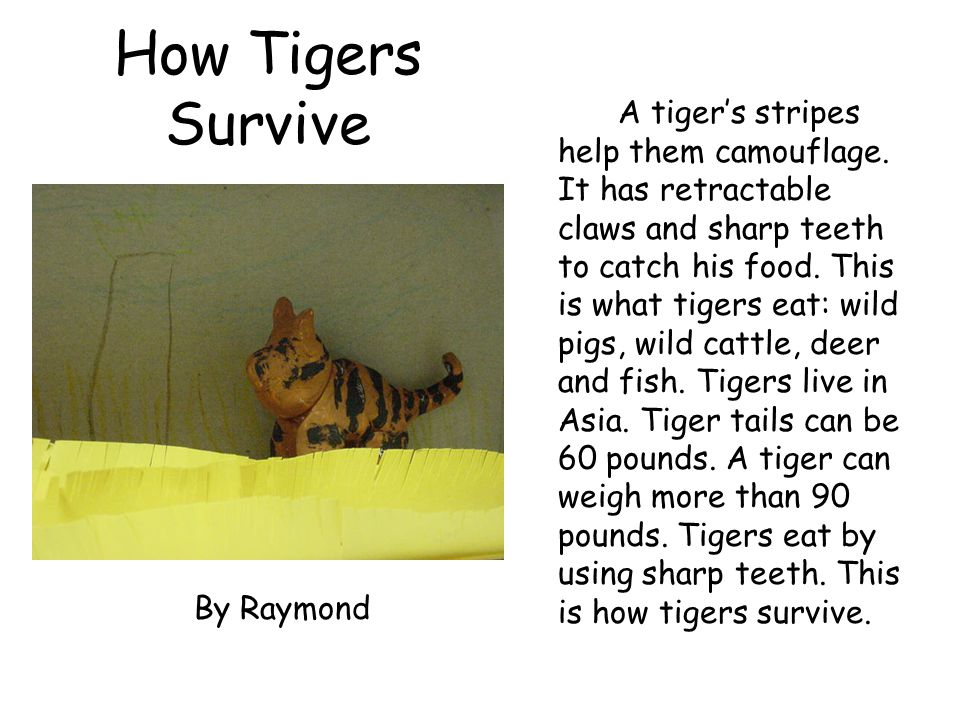 How Tigers Survive A tiger's stripes help them camouflage. It has retractable claws and sharp teeth to catch his food. This is what tigers eat: wild p