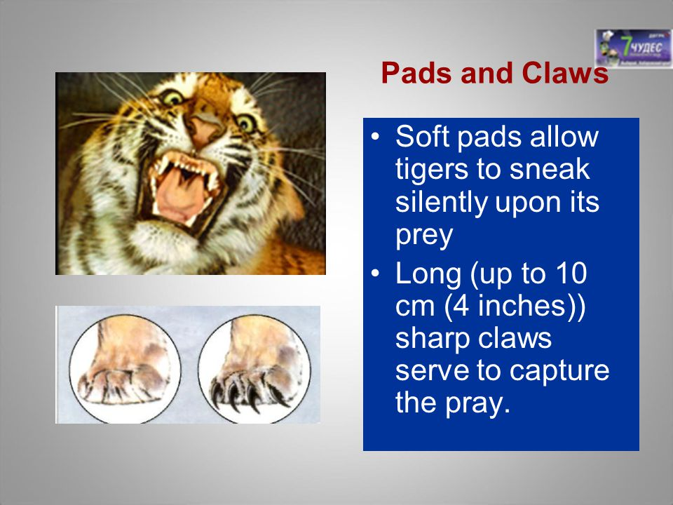 Soft pads allow tigers to sneak silently upon its prey Long (up to 10 cm (4 inches)) sharp claws serve to capture the pray. Pads and Claws