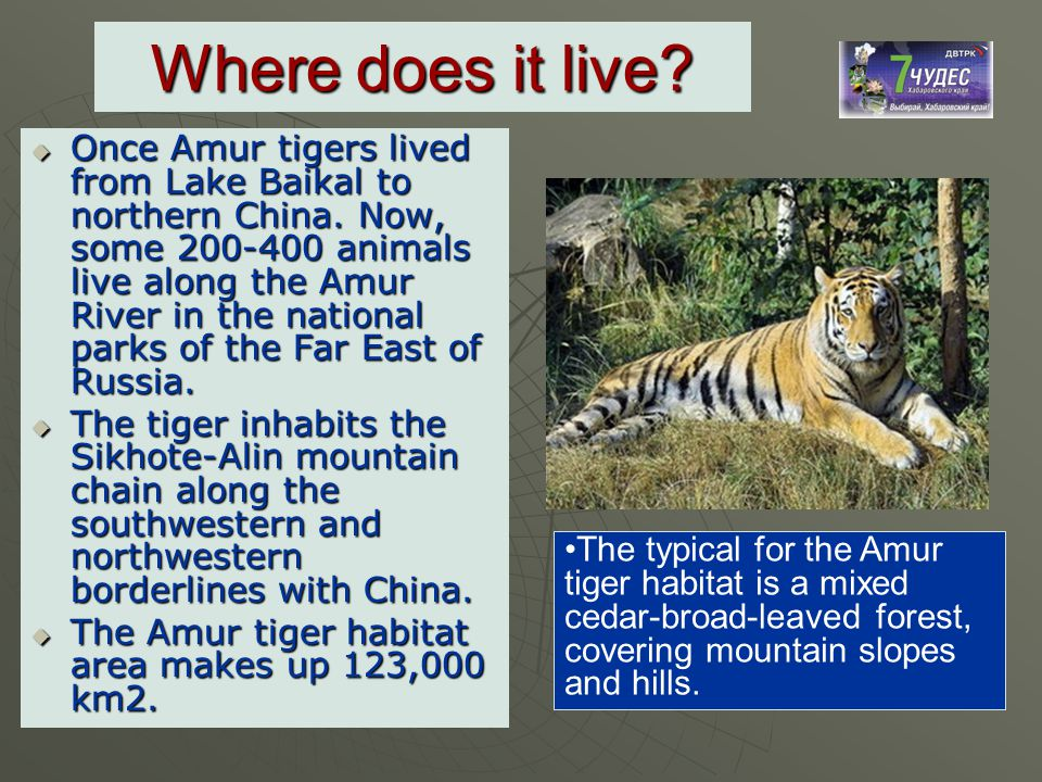 Where does it live?  Once Amur tigers lived from Lake Baikal to northern China. Now, some 200-400 animals live along the Amur River in the national p