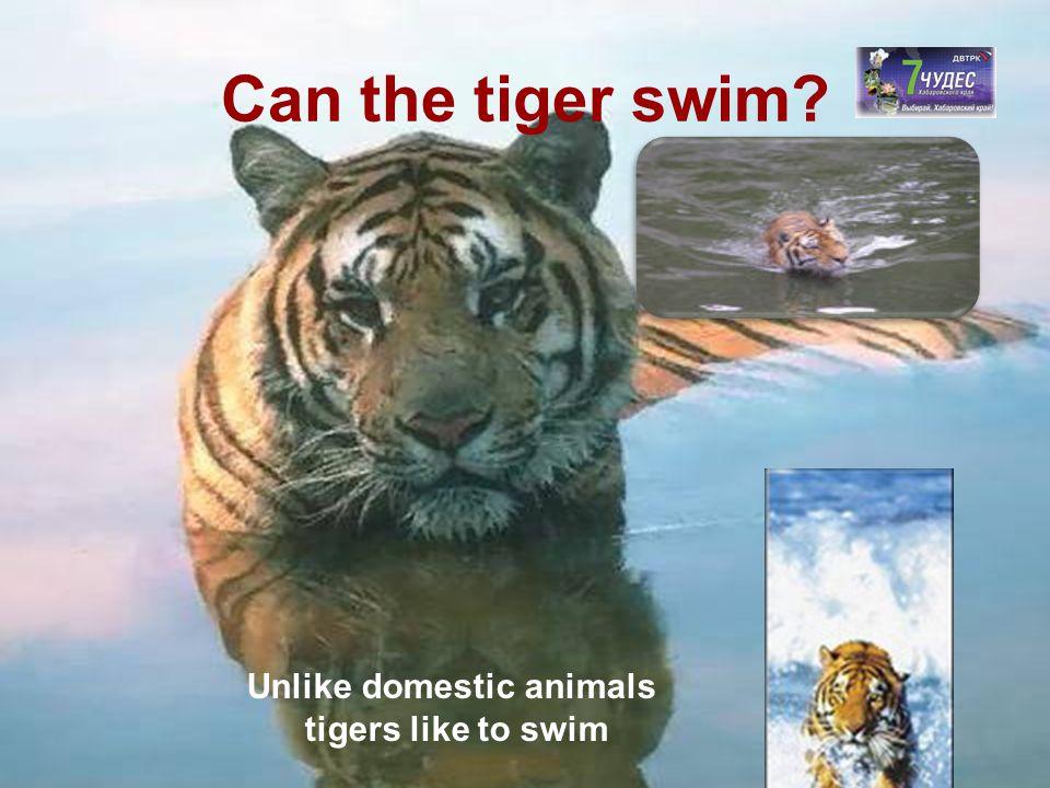 Can the tiger swim? Unlike domestic animals tigers like to swim