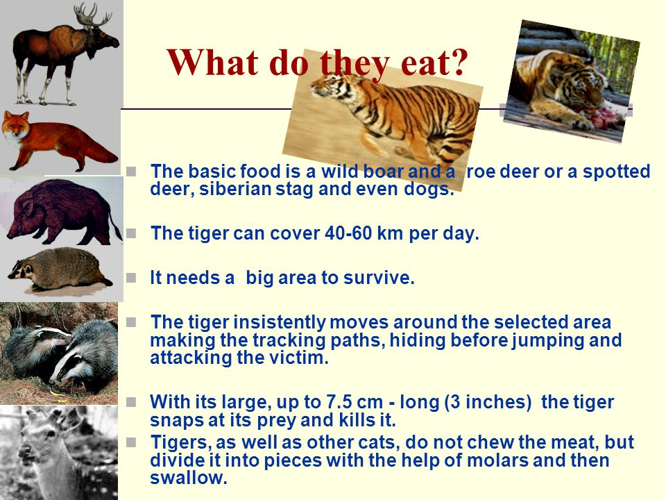 What do they eat? The basic food is a wild boar and a roe deer or a spotted deer, siberian stag and even dogs. The tiger can cover 40-60 km per day. I