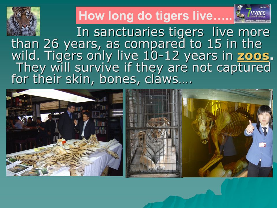 In sanctuaries tigers live more than 26 years, as compared to 15 in the wild. Tigers only live 10-12 years in zoos. In sanctuaries tigers live more th