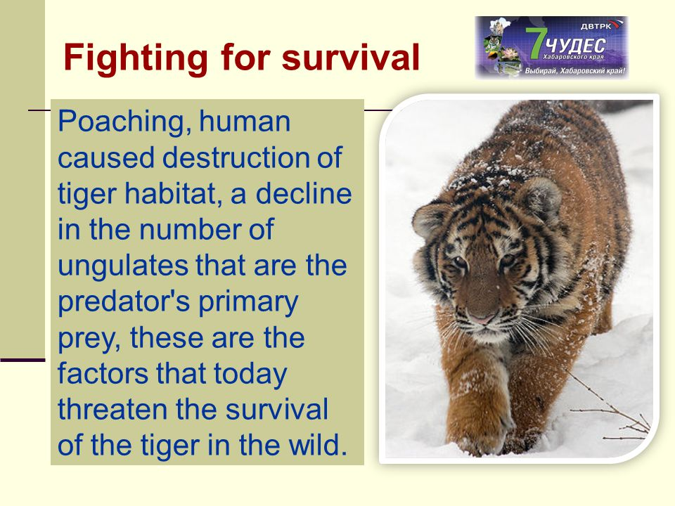 Poaching, human caused destruction of tiger habitat, a decline in the number of ungulates that are the predator's primary prey, these are the factors