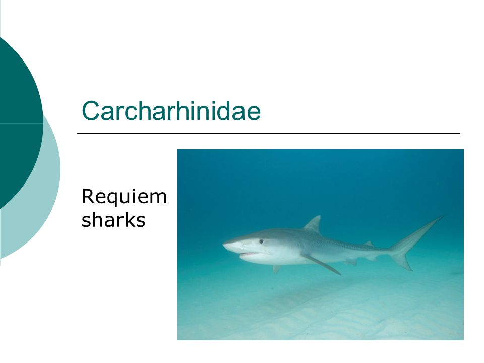 Carcharhinidae characteristics  5 gill slits  2 dorsal fins No fin spines  Caudal fin w/ strong ventral lobe  Mouth behind eyes  Round eyes w/ nictitating eyelids  Long arched mouth w/ bladelike teeth  Short labial furrows  Mostly unpatterned