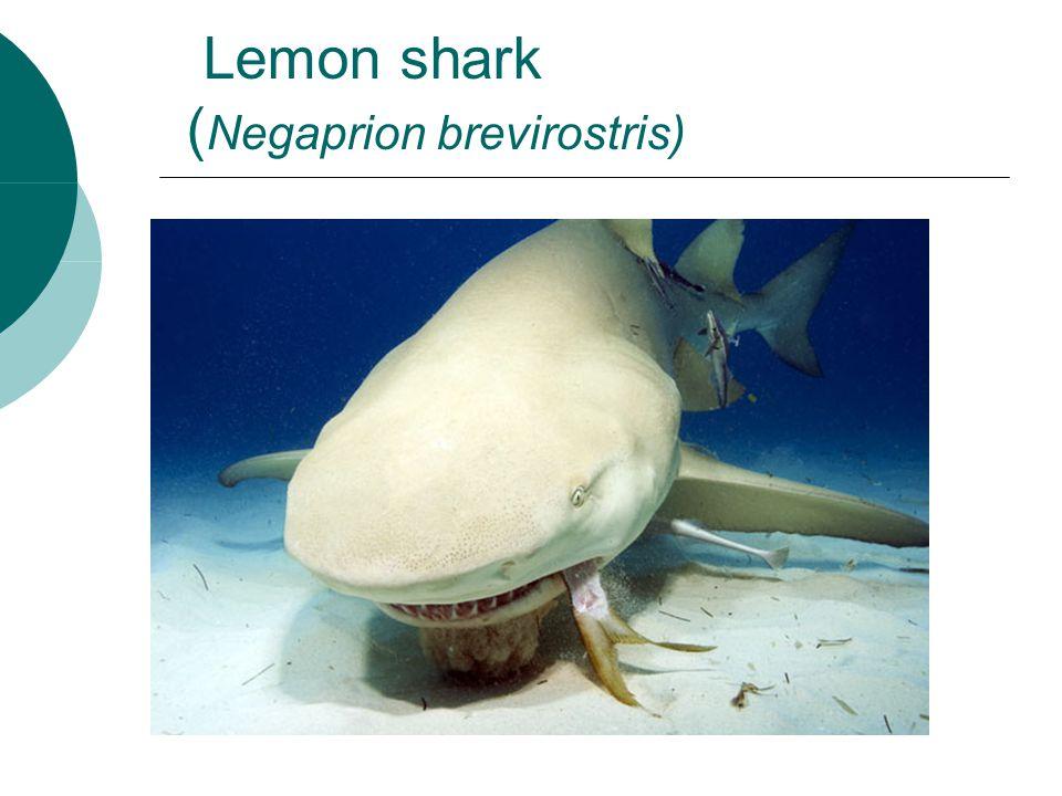 Lemon shark ( Negaprion brevirostris)