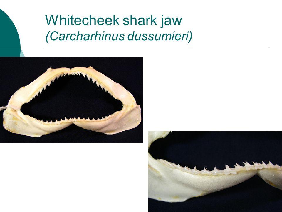 Whitecheek shark jaw (Carcharhinus dussumieri)