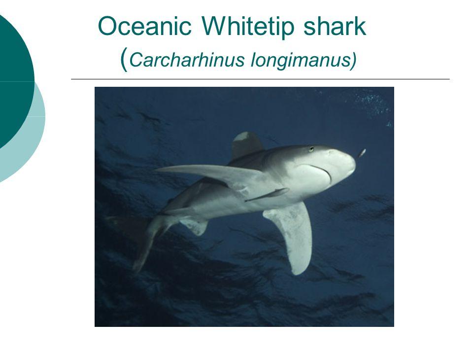 Oceanic Whitetip shark ( Carcharhinus longimanus)