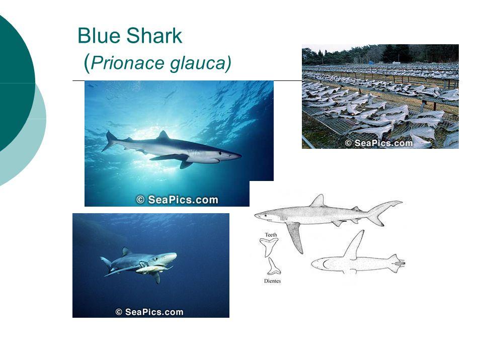 Blue Shark ( Prionace glauca)