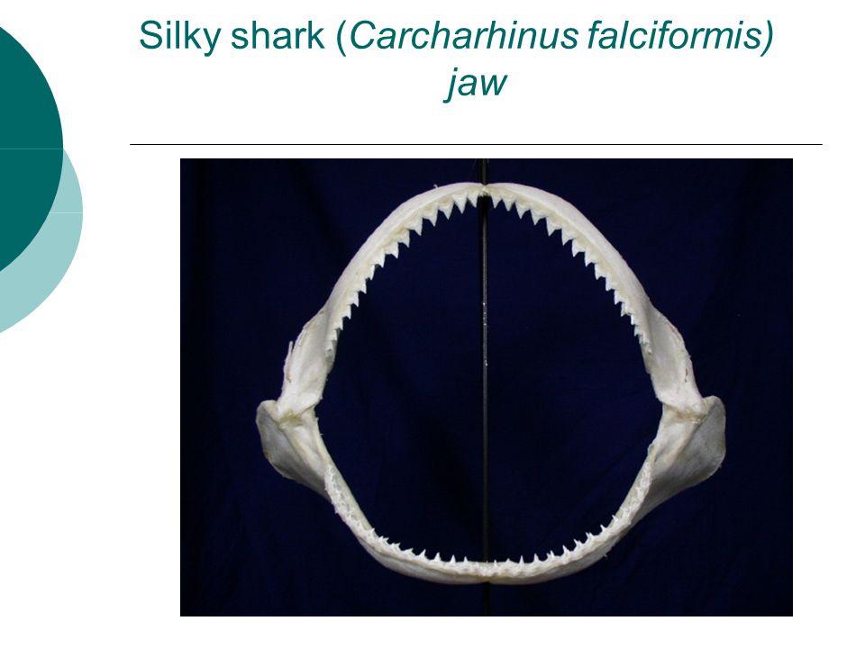 Silky shark (Carcharhinus falciformis) jaw