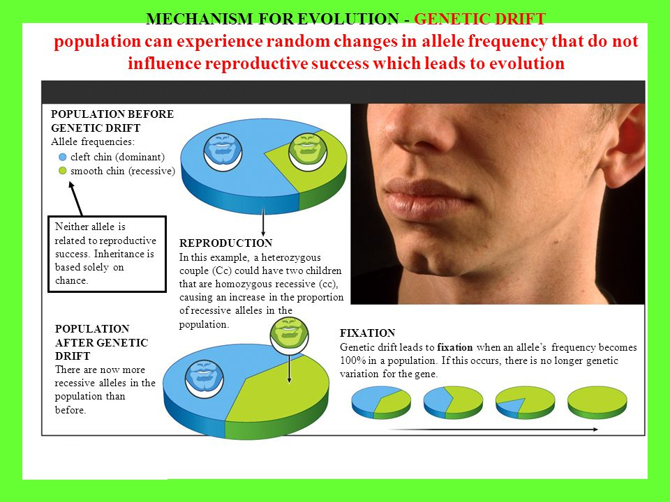 POPULATION BEFORE GENETIC DRIFT Allele frequencies: MECHANISM FOR EVOLUTION - GENETIC DRIFT population can experience random changes in allele frequen
