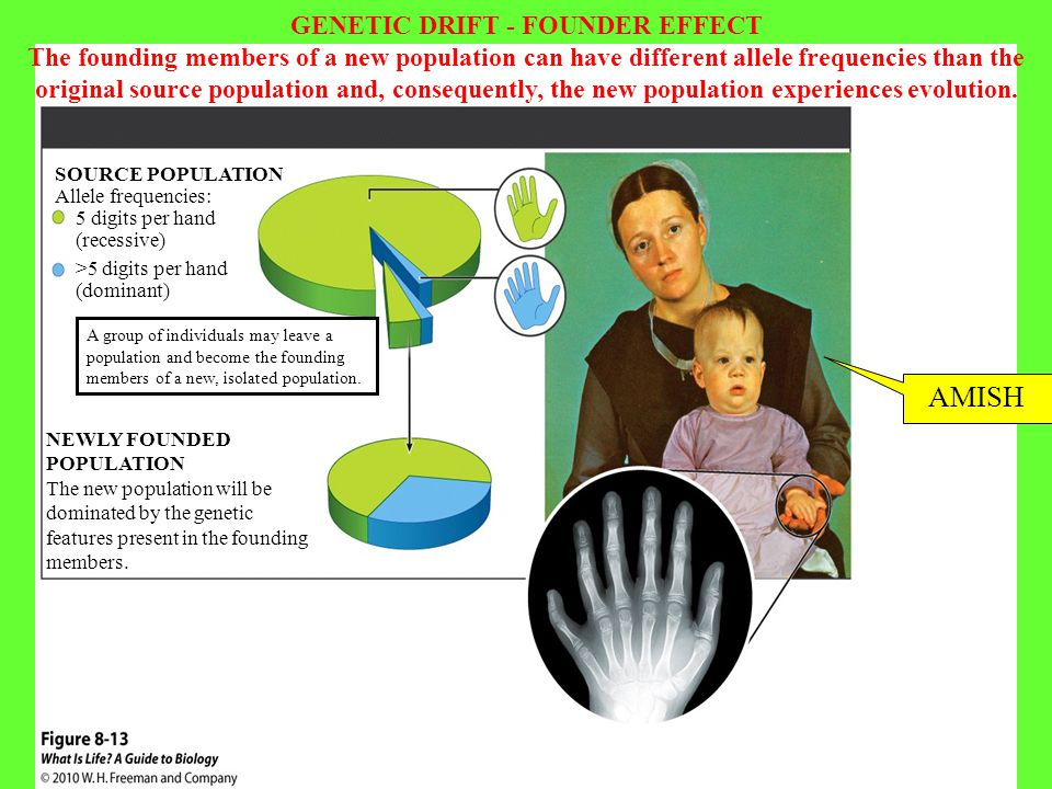 5 digits per hand (recessive) NEWLY FOUNDED POPULATION The new population will be dominated by the genetic features present in the founding members. S