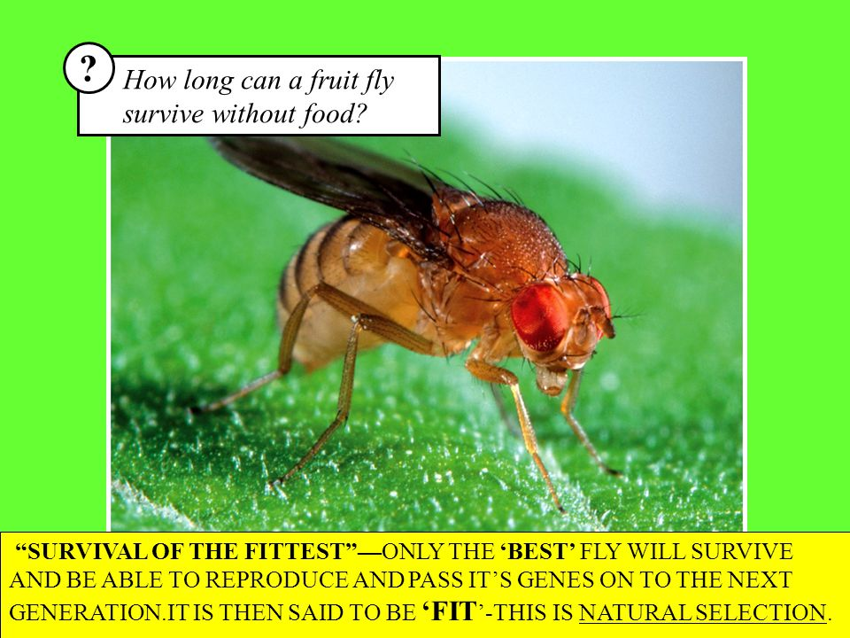 AVERAGE STARVATION RESISTANCE Hours until starvation Number of flies The average fruit fly can survive about 20 hours without food.