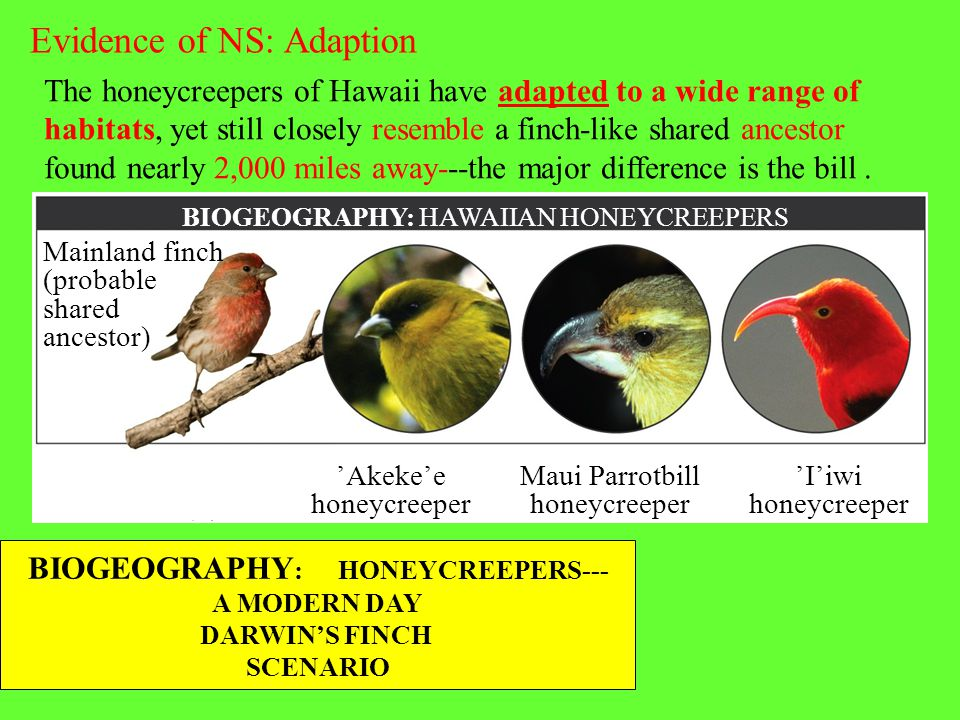 BIOGEOGRAPHY: HAWAIIAN HONEYCREEPERS The honeycreepers of Hawaii have adapted to a wide range of habitats, yet still closely resemble a finch-like sha