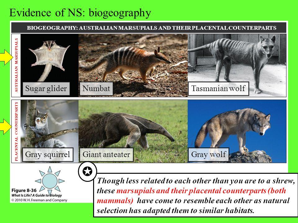 BIOGEOGRAPHY: AUSTRALIAN MARSUPIALS AND THEIR PLACENTAL COUNTERPARTS AUSTRALIAN MARSUPIALS PLACENTAL COUNTERPARTS Tasmanian wolfNumbatSugar glider Gra