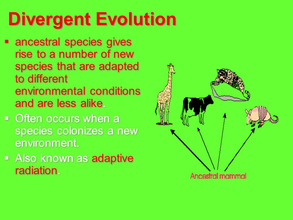 Divergent Evolution  ancestral species gives rise to a number of new species that are adapted to different environmental conditions and are less alik