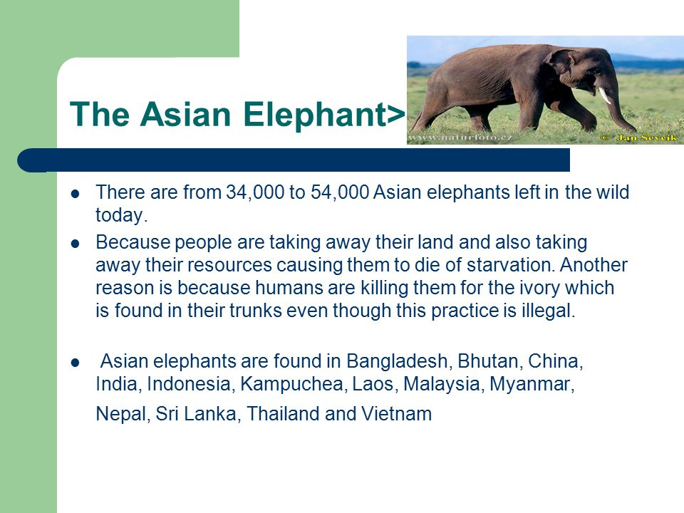The Asian Elephant> There are from 34,000 to 54,000 Asian elephants left in the wild today.