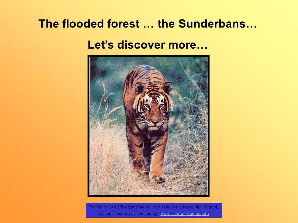 Thanks to Sarah Todd and her colleagues at Stanchester High School, Somerset made available through www.sln.org.uk/geographywww.sln.org.uk/geography The flooded forest … the Sunderbans… Let's discover more…