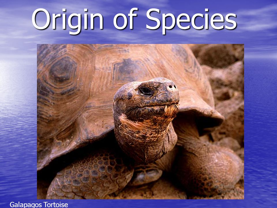 Origin of Species patterns of speciation Anagenesis Anagenesis –A single population is transformed enough to be designated a new species Cladogenesis Cladogenesis –Branching evolution.