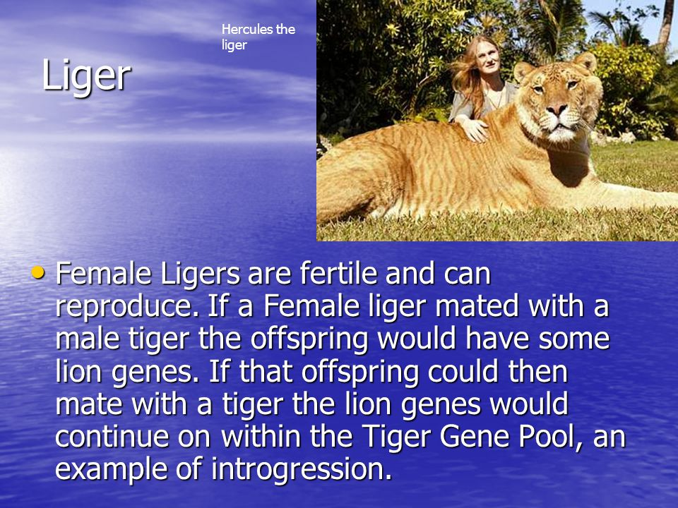 Liger Female Ligers are fertile and can reproduce. If a Female liger mated with a male tiger the offspring would have some lion genes. If that offspri