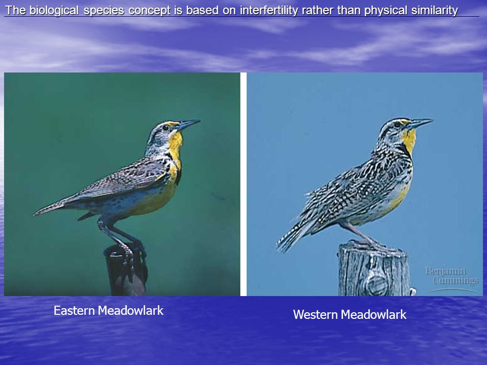 The biological species concept is based on interfertility rather than physical similarity Eastern Meadowlark Western Meadowlark