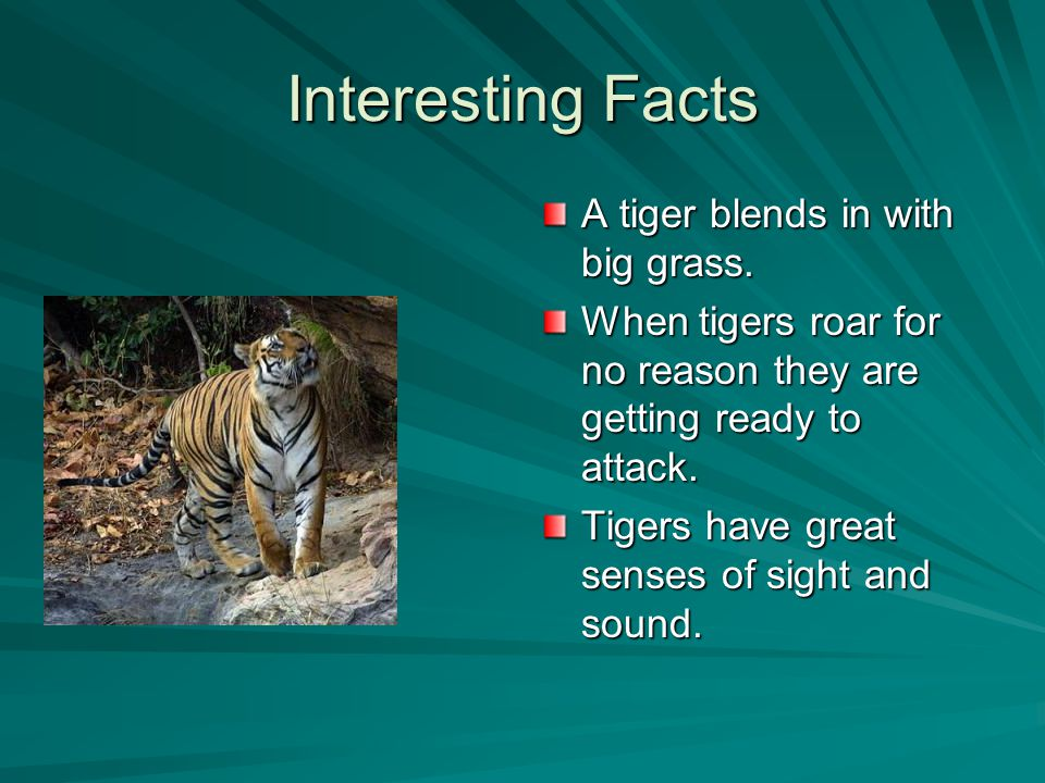 Interesting Facts A tiger blends in with big grass.