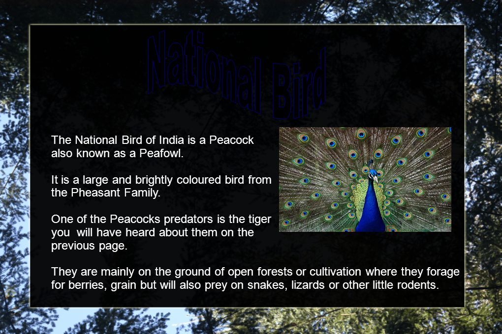 The National Bird of India is a Peacock also known as a Peafowl.