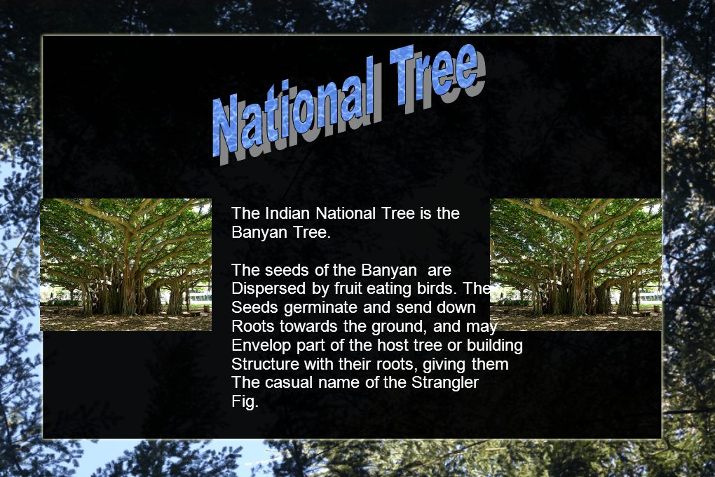 The Indian National Tree is the Banyan Tree.