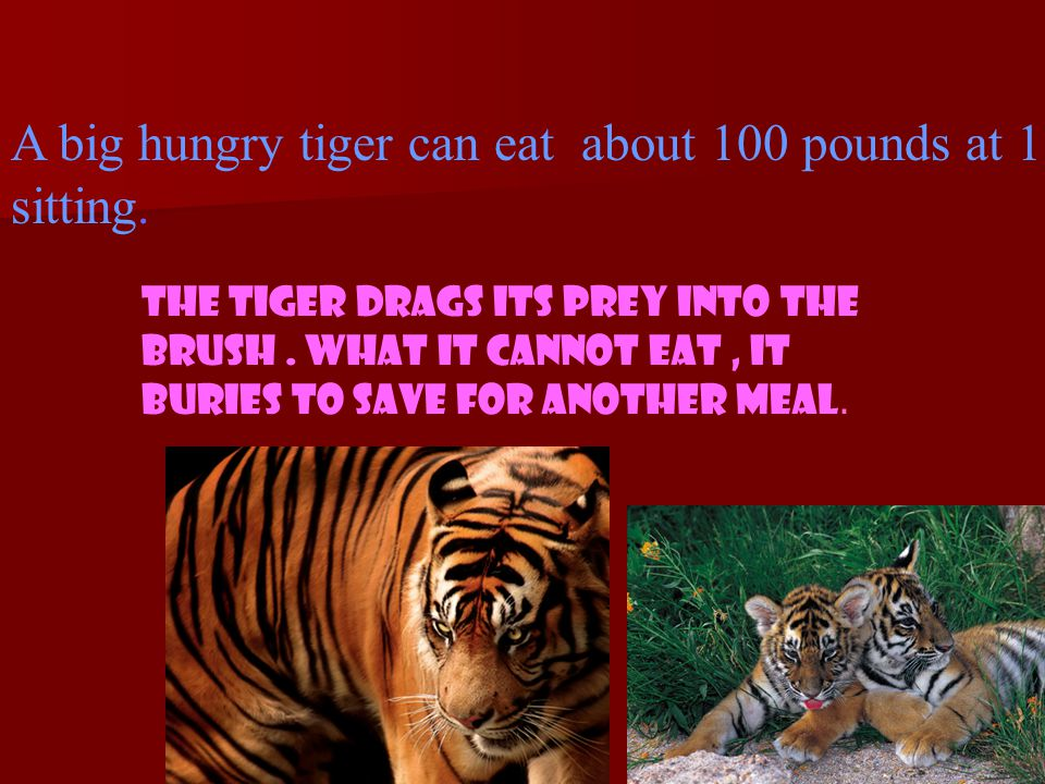 When it hunts, a tiger usually sneaks close to its prey by hiding behind trees, bushes, and rocks.