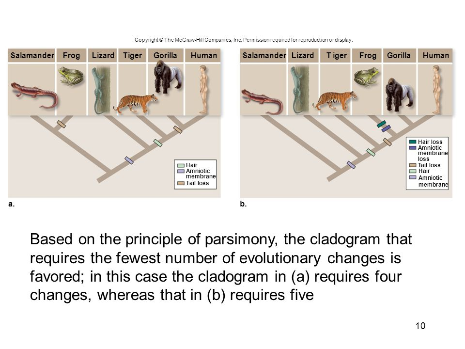 10 Based on the principle of parsimony, the cladogram that requires the fewest number of evolutionary changes is favored; in this case the cladogram i