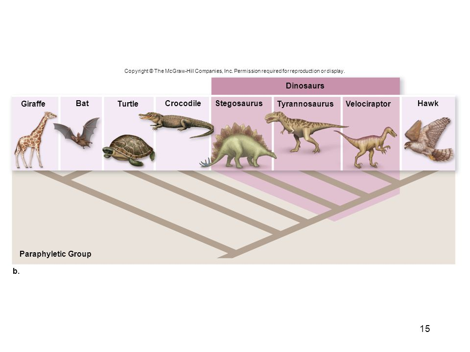 15 Copyright © The McGraw-Hill Companies, Inc. Permission required for reproduction or display. b. Dinosaurs Paraphyletic Group BatCrocodileStegosauru