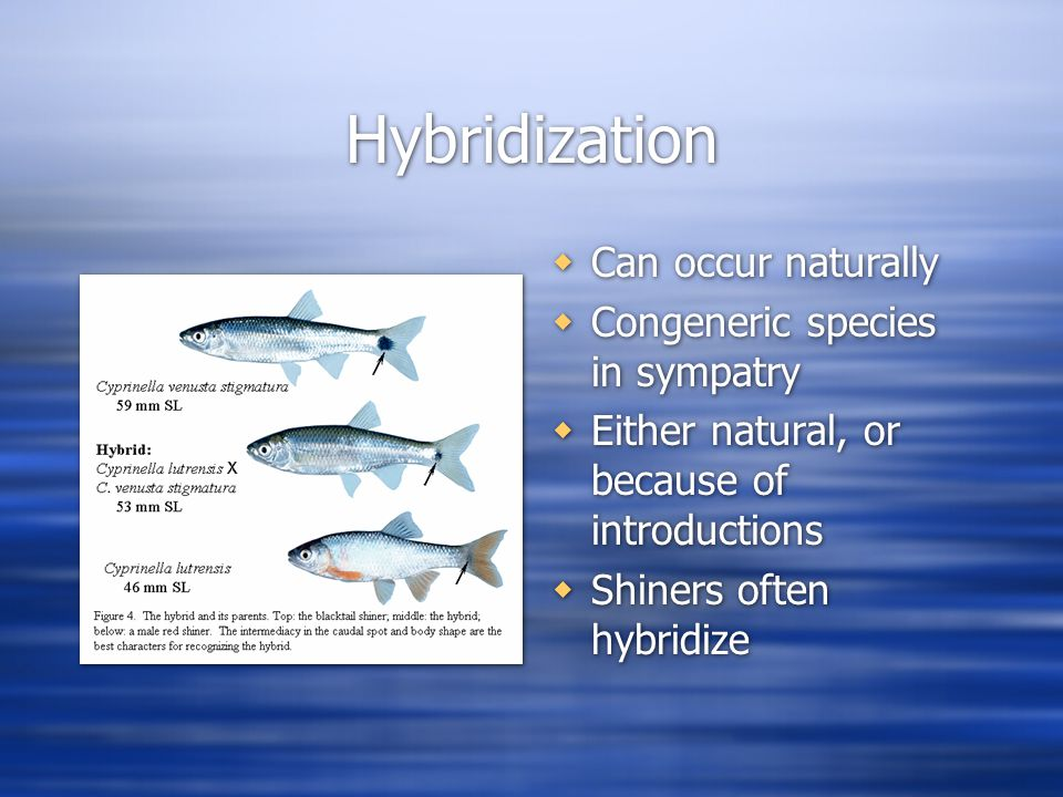 Hybridization  Can occur naturally  Congeneric species in sympatry  Either natural, or because of introductions  Shiners often hybridize
